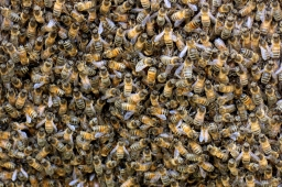 A Game of Queens – or – They're Not Our Bees!