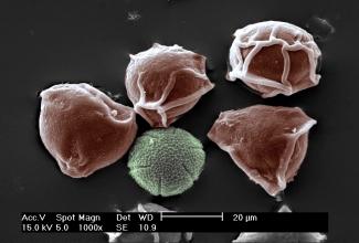 pollen 5